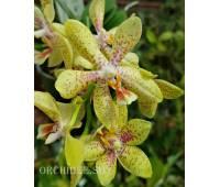 Phalaenopsis PHM 288 Artisto Crafts