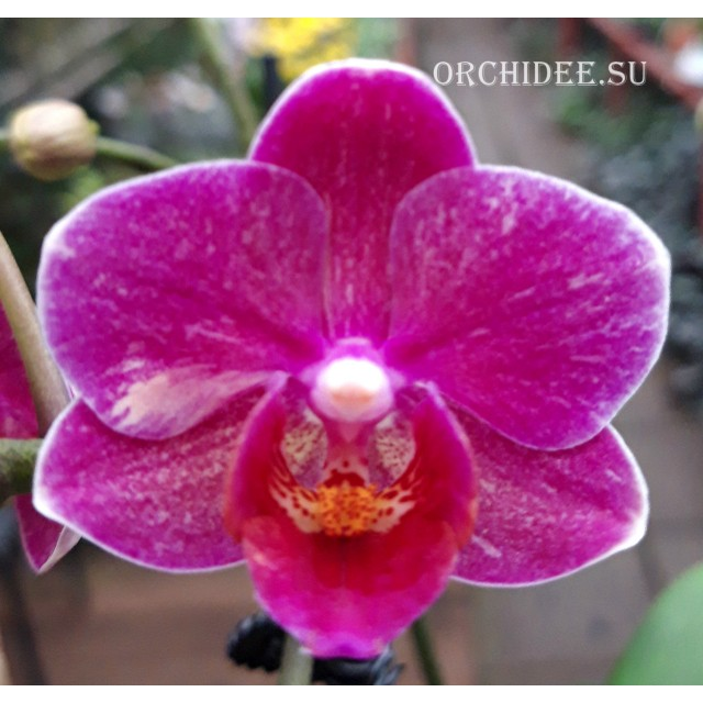 Phalaenopsis PHM 289