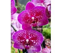 Phalaenopsis PHM 290