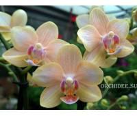 Phalaenopsis PHM 291