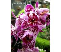 Phalaenopsis PP 003