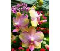 Phalaenopsis Taisuco Jasper