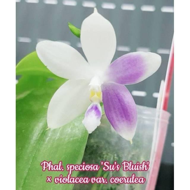 Phalaenopsis speciosa 'Su's Bluish' × violacea var. coerulea