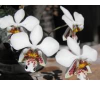 Phalaenopsis stuartiana x sib