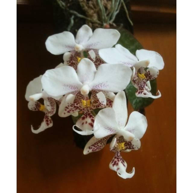 Phalaenopsis stuartiana 'tipo' x sib