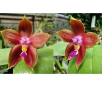 Phalaenopsis Yaphon Goodboy x Ld's Bear King 'Red'
