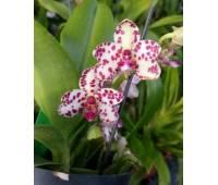 (Sedirea japonica × Vandopsis parishii) × Rhy.gigiantea