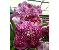 Vanda Nitaya Crimson Love