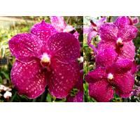 Vanda Fuchsia Love