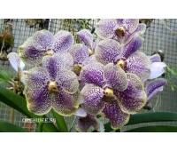 Vanda Purple & Yellow