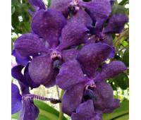 Vanda Velvet Purple