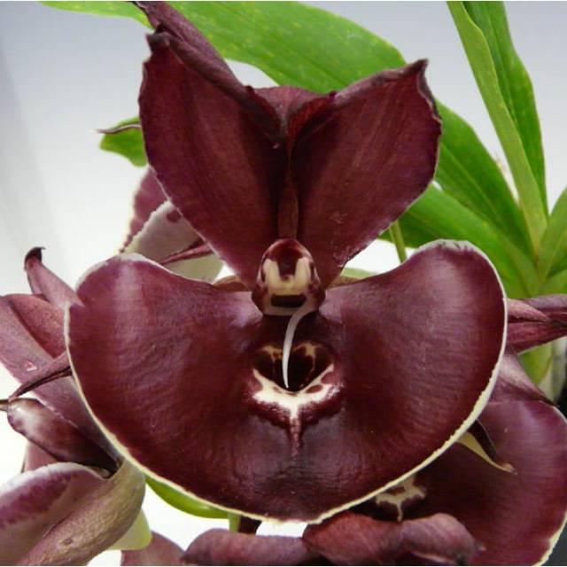 Catasetum Orchidglade 'Jack of Diamond'