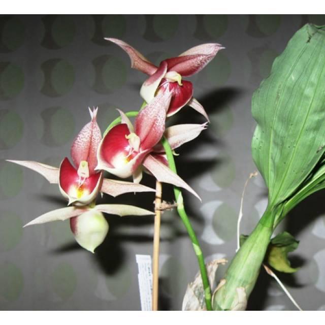 Catasetum pileatum Pierre Couret x expansum