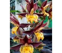 "Catasetum Jumbo Tycoon x Catasetum Susan Fuchs ""Burgundy Chips"" FCC/AOS"