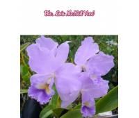 Brassolaeliocattleya Lois McNeil 'Ace'