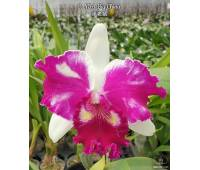 Cattleya NSA Big China