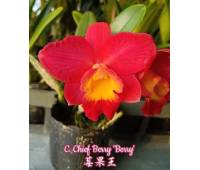 Cattleya Chief Berry 'Berry'