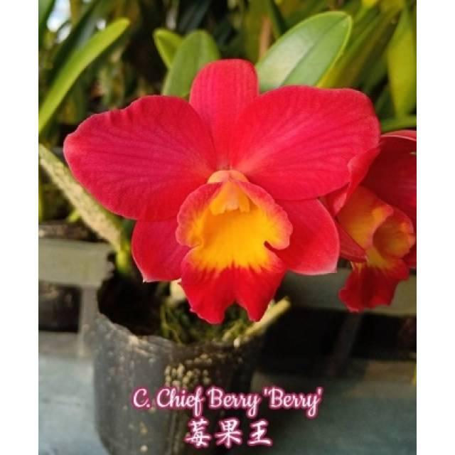 Cattleya Chief Berry 'Berry'