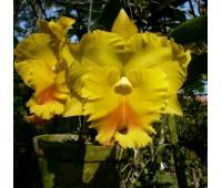 Brassolaeliocattleya Haadyai Delight