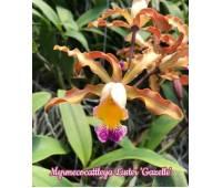 Myrmecocattleya Luster 'Gazelle'