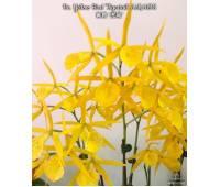 Brassocattleya Yellow Bird 'Tigertail'