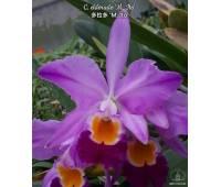Cattleya eldorado 'M.Ito' BM/JOS