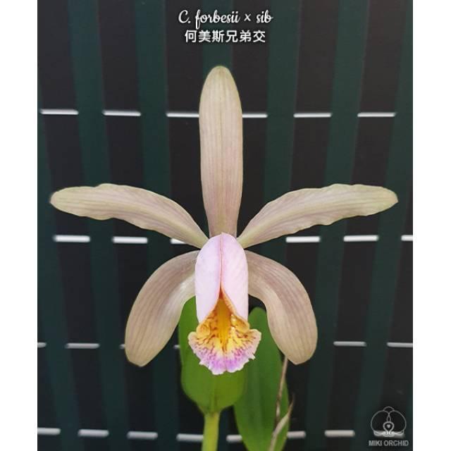 Cattleya forbesii x sib