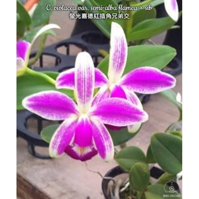 Cattleya violacea semi-alba flamea x sib