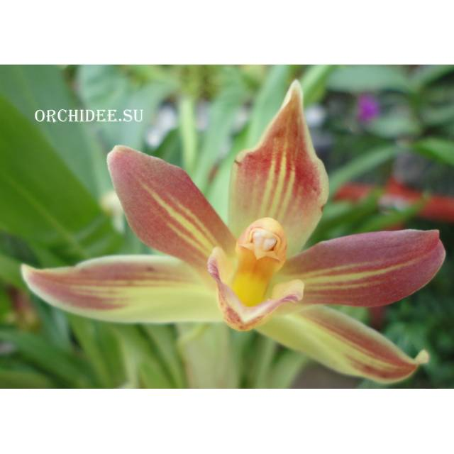 Cochleanthes hybrid 04
