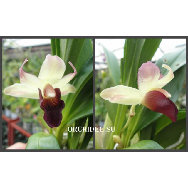 Cochleanthes hybrid 05