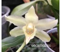 Cochleanthes hybrid 06 alba