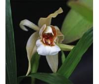Coelogyne Orchideengarten Sabine