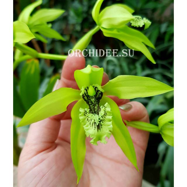 Coelogyne pandurata very big/dark blossom selection
