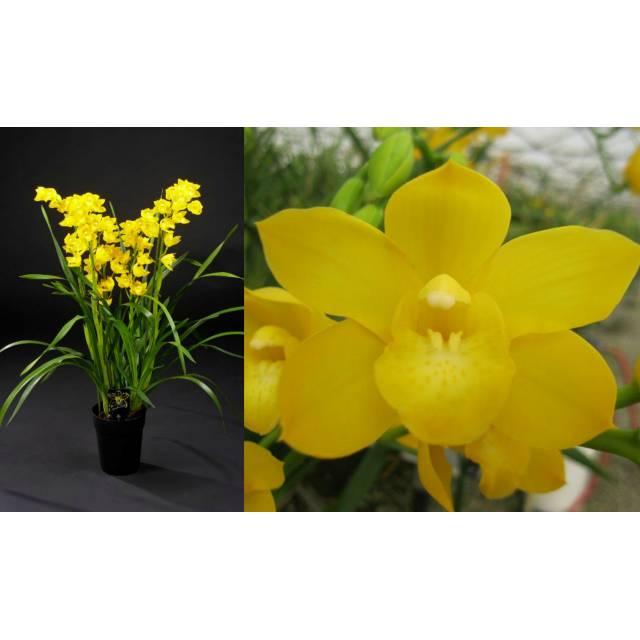 Cymbidium Shining 'Shiny Yellow'