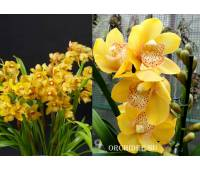 Cymbidium Golden Cascade