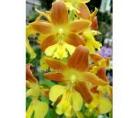 Calanthe Kozu Spice Hybrids 'Orange №2'