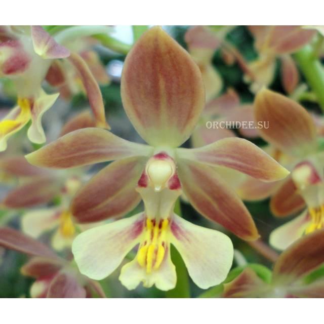 Calanthe Kozu Spice Hybrids 'Hazel'