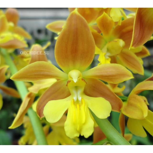 Calanthe Kozu Spice Hybrids 'Orange №3'