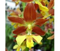 Calanthe Kozu Spice Hybrids 'Orange №1'