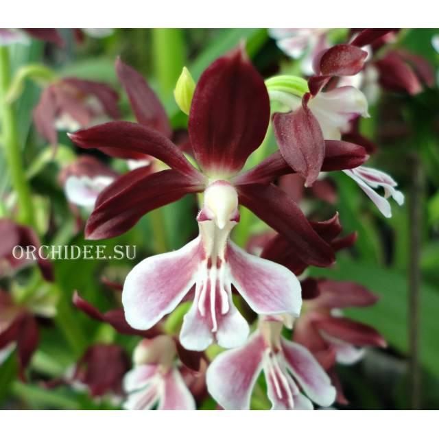 Calanthe Kozu Spice Hybrids 'Dark red'