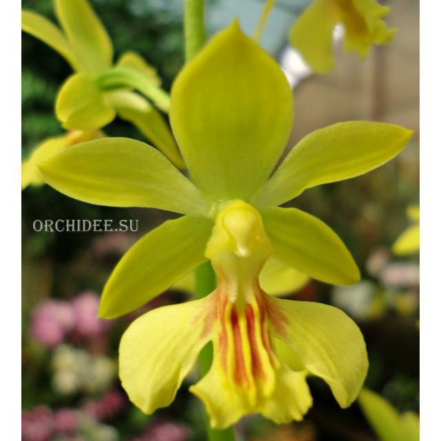 Calanthe Kozu Spice Hybrids 'Yellow'