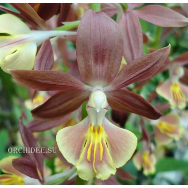 Calanthe Kozu Spice Hybrids 'Light Brown'