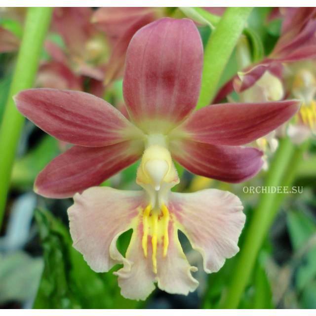 Calanthe Kozu Spice Hybrids 'Light Pink'