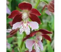 Calanthe Kozu Spice Hybrids 'Red'