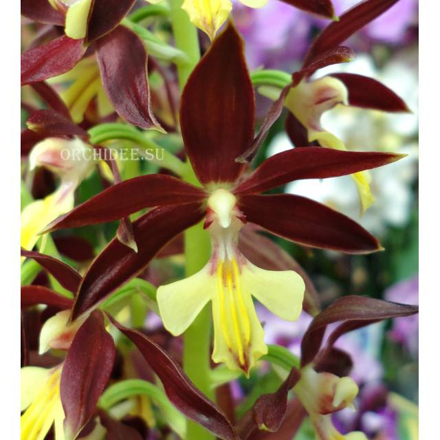 Calanthe Kozu Spice Hybrids 'Yellow Lip'