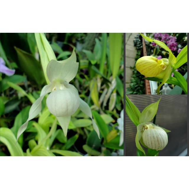 Cypripedium mix 'Garden'
