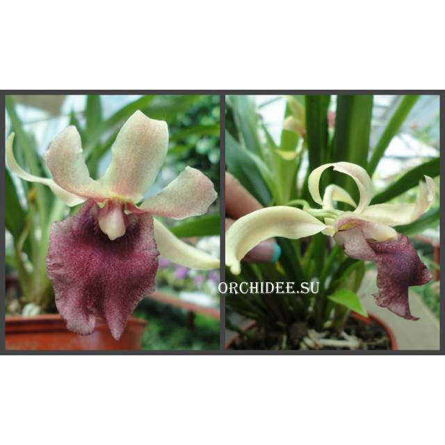 Cochleanthes hybrid 03