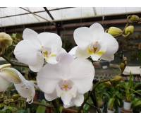 Phalaenopsis PH 047/1 Tropic Iceman Big Lip