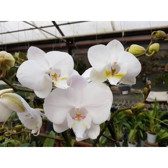 Phalaenopsis PH 047/1 Tropic Iceman Big Lip
