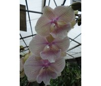 Phalaenopsis PH 256 Big Lip